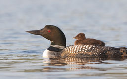 Common loon swimming with chick on her back. Common Loon Gavia immer swimming with chick on her back Stock Photography