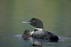 Common Loon and chick Stock Image