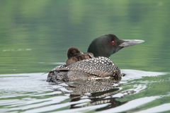 Common Loon and Chick Royalty Free Stock Photography