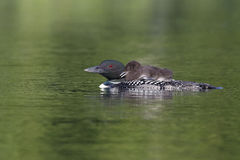 Common Loon Chick Riding on Parent's Back stock photography