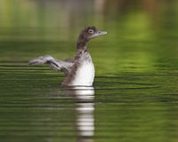 Common Loon Chick Shaking Its Wings Dry Stock Photos