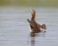 Common Loon Chick Shaking Its Wings Dry royalty free stock photography