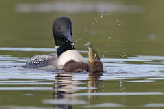 Common Loon Chick Swallowing a Sunfish as Parent Looks On. A two-week old Common Loon chick (Gavia immer) swallows a pumpkinseed sunfish as its parent looks on royalty free stock images
