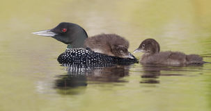 Common Loon Chick Watching its Sibling as it Rides on Parent's B. A three-week old Common Loon chick (Gavia immer) rides on its parent's back as its sibling royalty free stock photos