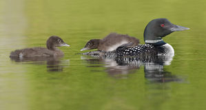 Common Loon Chick Watching its Sibling as it Rides on Parent's B stock photos