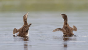 Common Loon Chicks Shaking Their Wings Dry royalty free stock image