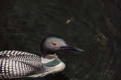 Common Loon Closeup Gavia immer royalty free stock image