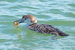 Common Loon Stock Photo