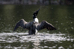 Common loon dancing Stock Image