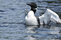 Common Loon Displaying Stock Photos