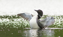 Common Loon Displaying Stock Image