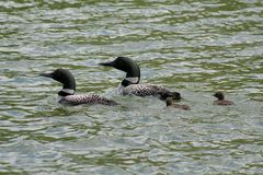 Common Loon Family. A family of common loons swimming on Island Lake in Northome, MN Stock Image