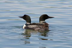 Common Loon Family. A family of Common Loons living on Island Lake in Northome, Minnesota Stock Photo