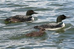 Common Loon Family Royalty Free Stock Photos