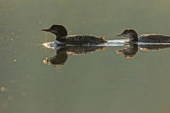 Common Loon Family Royalty Free Stock Images