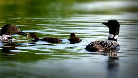 Common loon family or great northern diver - gavia immer - eating. Common loon family or great northern divers - Gavia immer - two adults feeding two babies Stock Photo