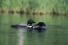 Common Loon Family Royalty Free Stock Photography