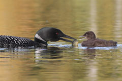 Common Loon Feeding a Fish to its Baby Stock Photos