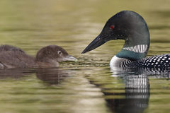 Common Loon Feeding a Green Caterpillar to its Chick. A Common Loon (Gavia immer) feeds a green caterpillar to its chick - Ontario, Canada royalty free stock photography