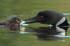 Common Loon Feeding a Sunfish to its Young Chick Stock Photography