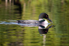 Common Loon (Gavia immer) Royalty Free Stock Image