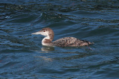Common Loon (Gavia immer) Royalty Free Stock Photography