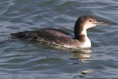 Common Loon (Gavia immer) Stock Images