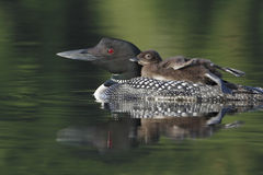 Common Loon (Gavia immer). Baby Common Loon (Gavia immer) Riding on its Parent's Back as the Other Parent Brings it a Fish - Haliburton, Ontario, Canada Stock Photo