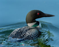 Common Loon Gavia immer Closeup. Common Loon Gavia immer in breeding plumage closeup swimming on a northwoods lake in Wisconsin Royalty Free Stock Photos