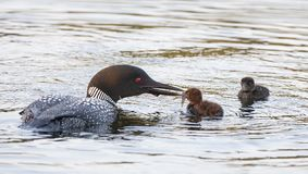 A Common Loon Gavia immer feeding its chick in Ontario, Canada royalty free stock photos