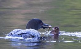 A Common Loon Gavia immer feeding its chick in Ontario, Canada royalty free stock photo