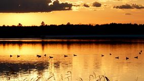 Common Loon, gavia immer, gathering of Minneaota state birds at sunset. stock video footage