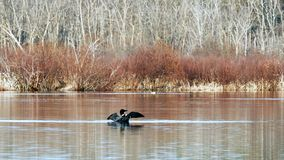 Common Loon, gavia immer, Minneaota state bird rearing up and flapping its wings on a lake in Bemidji. stock footage