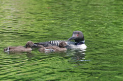 Common Loon Gavia immer Mother and Chicks Royalty Free Stock Images