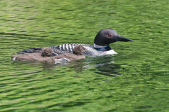 Common Loon Gavia immer Mother and Chicks Stock Photos