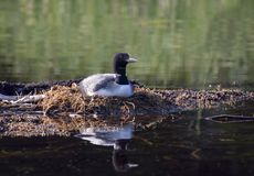 A Common Loon Gavia immer on nest incubating her eggs early summer in Ontario, Canada stock photos