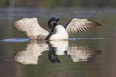 Common Loon in partial molt flapping its wings after preening in. A Common Loon Gavia immer in partial molt flaps its wings after preening in late summer royalty free stock photos