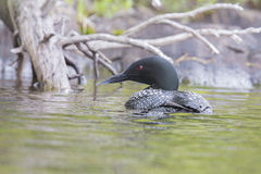Common Loon Royalty Free Stock Images