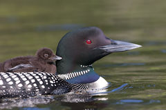 Common Loon with chick. Common Loon Gavia immer swimming with chick on her back Royalty Free Stock Photo