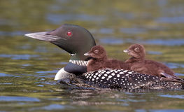 Common Loon with chicks. Common Loon Gavia immer swimming with two chicks on her back Stock Image