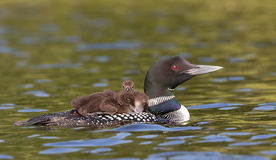 Common Loon. Gavia immer swimming with two chicks on her back Royalty Free Stock Photo