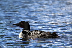 Common Loon or Great Northern Diver royalty free stock images