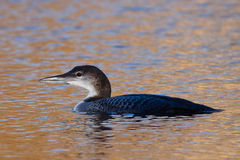 Common Loon, Great Northern Diver Royalty Free Stock Photo