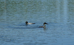 Common Loon or Great Northern Diver Stock Image
