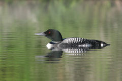 Common Loon - Haliburton, Ontario Royalty Free Stock Images