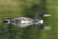 Common Loon - Haliburton, Ontario Stock Photos