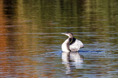 Common Loon Royalty Free Stock Photography