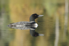 Common Loon on a Lake in Autumn - Haliburton, Ontario Stock Photos