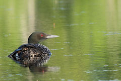 Common Loon Royalty Free Stock Photos