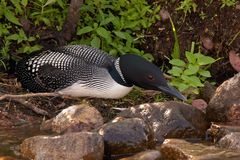 Common Loon on Nest Stock Photos